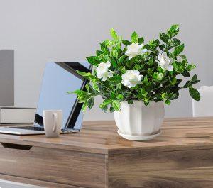 How to cultivate gardenias