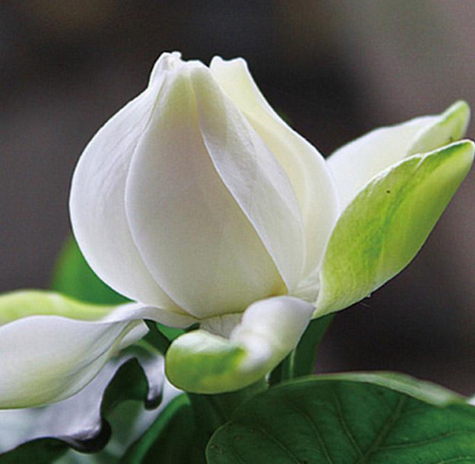 When Do Gardenia Bloom